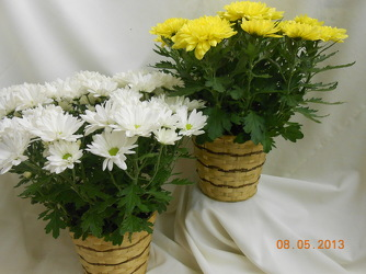Chrysanthemum Plant from Designs by Dennis, florist in Kingfisher, OK