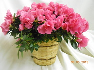 Pretty in Pink Azalea from Designs by Dennis, florist in Kingfisher, OK