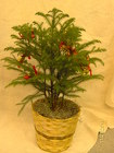 Norfolk Pine with Christmas accents from Designs by Dennis, florist in Kingfisher, OK