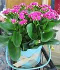 Pretty Kalanchoe Planter from Designs by Dennis, florist in Kingfisher, OK