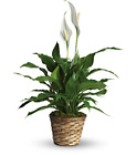 Simply Elegant Spathiphyllum - Small from Designs by Dennis, florist in Kingfisher, OK
