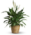 Simply Elegant Spathiphyllum - Medium from Designs by Dennis, florist in Kingfisher, OK